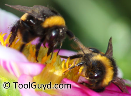 Bumble Bees on a Flower Closeup