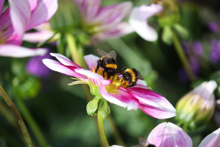 Bumble Bees on a Flower